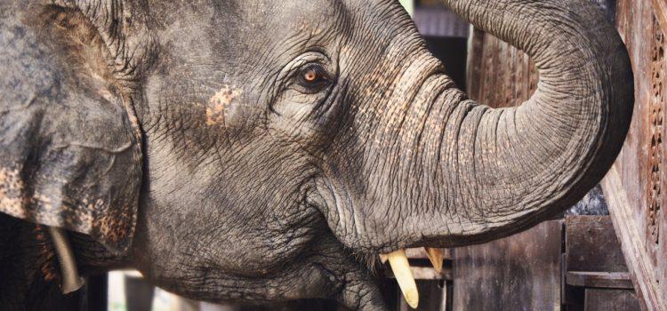 Geboorte olifantje