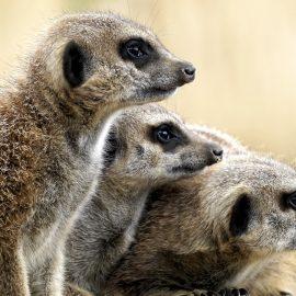 Zwarte lijst: 153 zoogdieren niet meer als huisdier te houden